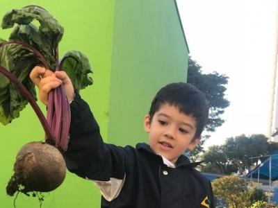 Alunos da Educação Infantil colhem beterrabas que plantaram